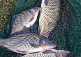 Ловля Карпа - платная рыбалка